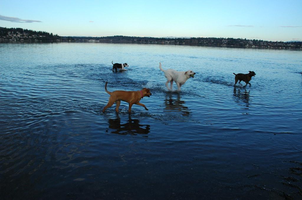 Magnuson Park Dog Swimming