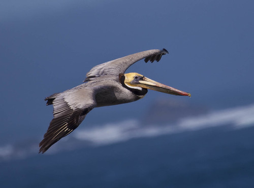Brown Pelican suite Point Lobos Ca | by straycat2009