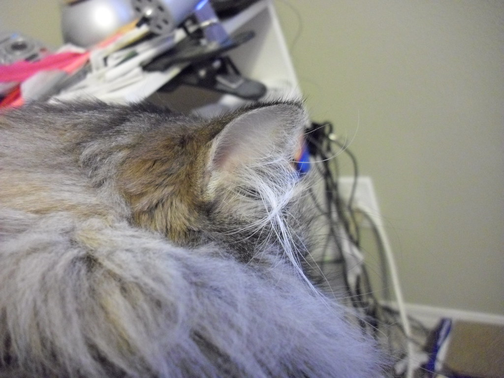 Feral Cat Ear Tip