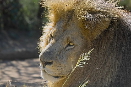 Male lion | by Arno Meintjes Wildlife