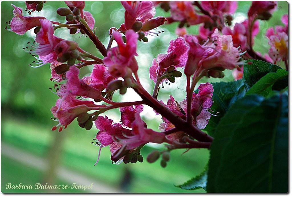 fleurs d 39 arbres marronnier d 39 inde barbara dalmazzo flickr. Black Bedroom Furniture Sets. Home Design Ideas