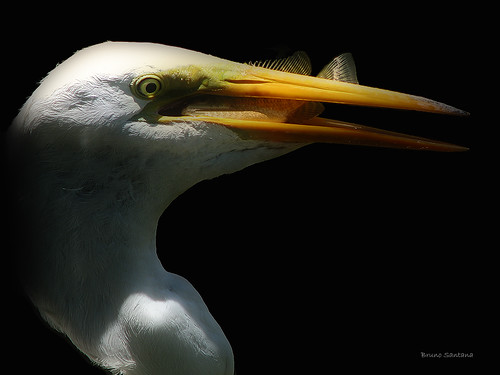 Great Egret | by Bruno R Santana