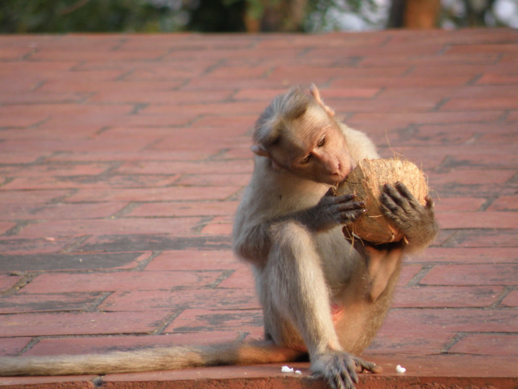 Monkey eating coconut hey you call this a nut oh flickr - Bassin canard mauritius saint paul ...