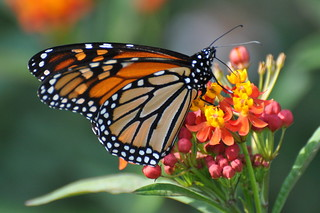 Monarch (Butterfly), Virginia | by Dave Govoni