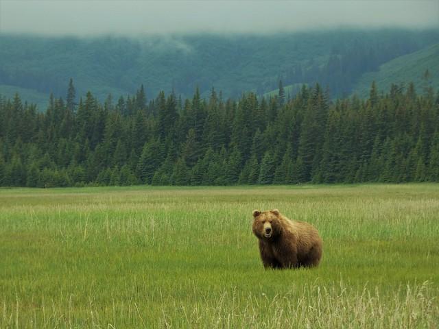 Oso en Alaska (Foto de nuestro viaje a Alaska en autocaravana)