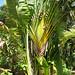 Ravenala (Traveller's Palm) - Dominica