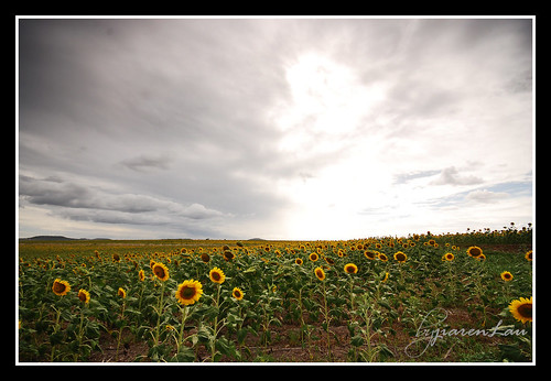 Toowoomba Sunflower Field | by Jiaren Lau