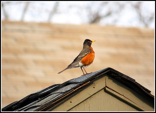 Robin on a roof | by wireman2777