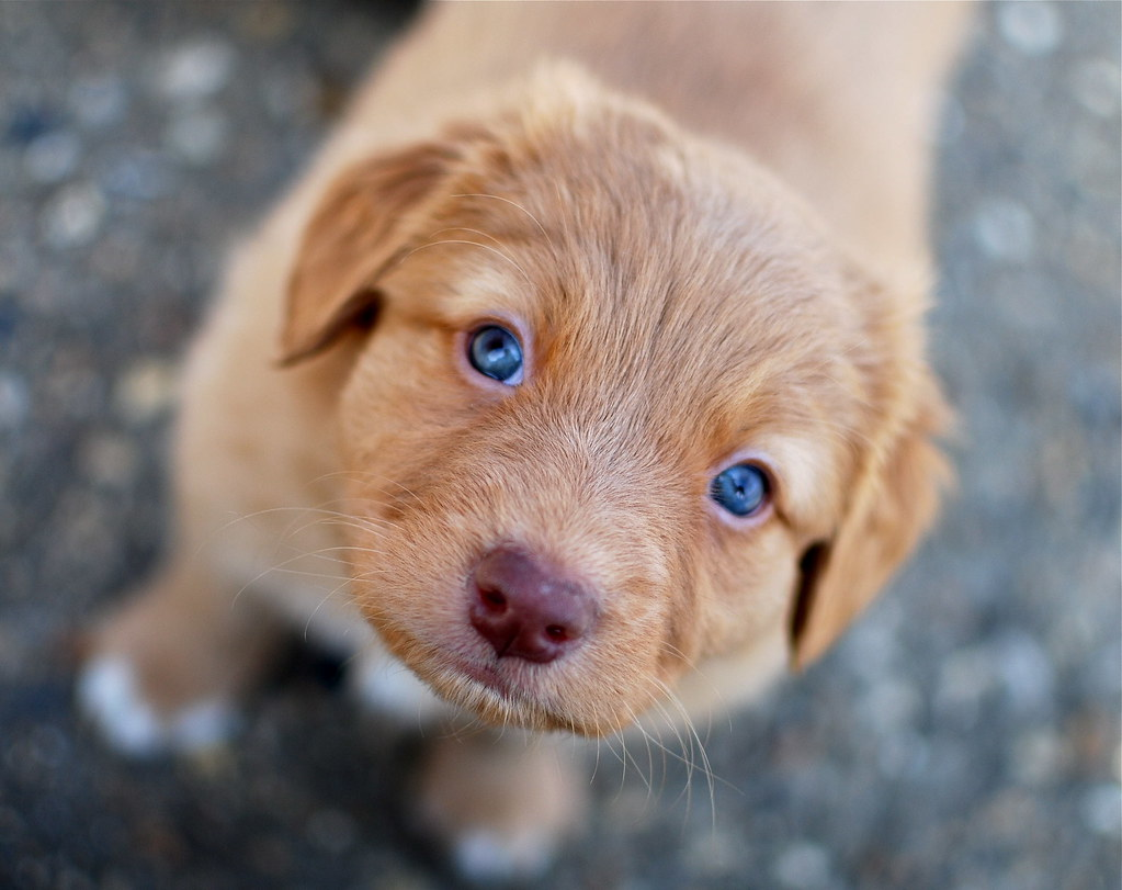 Blue Eyed Dogs For Adoption