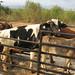 cattle-farming-mcf