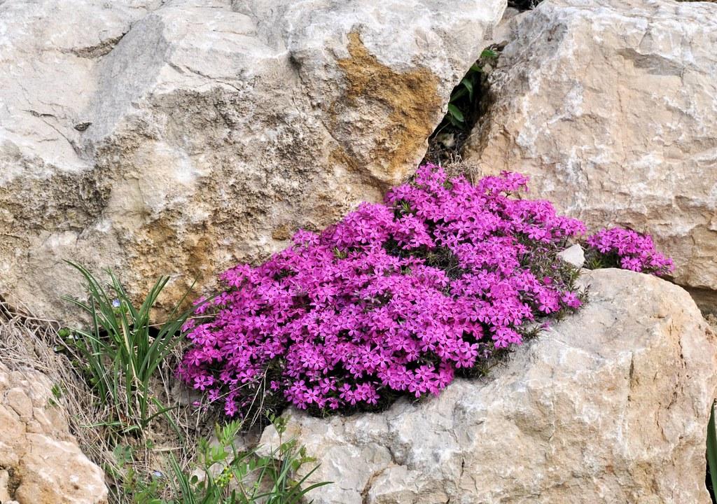 Rocaille fleurie de jolies fleurs qui poussent dans for Rocaille fleurie