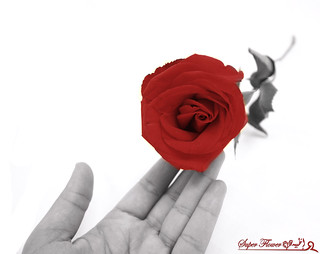 Res Rose | by Nourah.A.Edhbayah (Super Flower♥إظبيه)