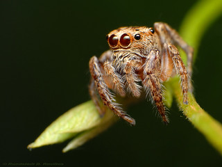 Jumpy spider | by Rundstedt B. Rovillos