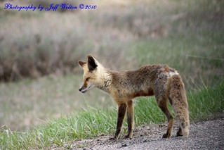 fox | by DUNKLEY_2