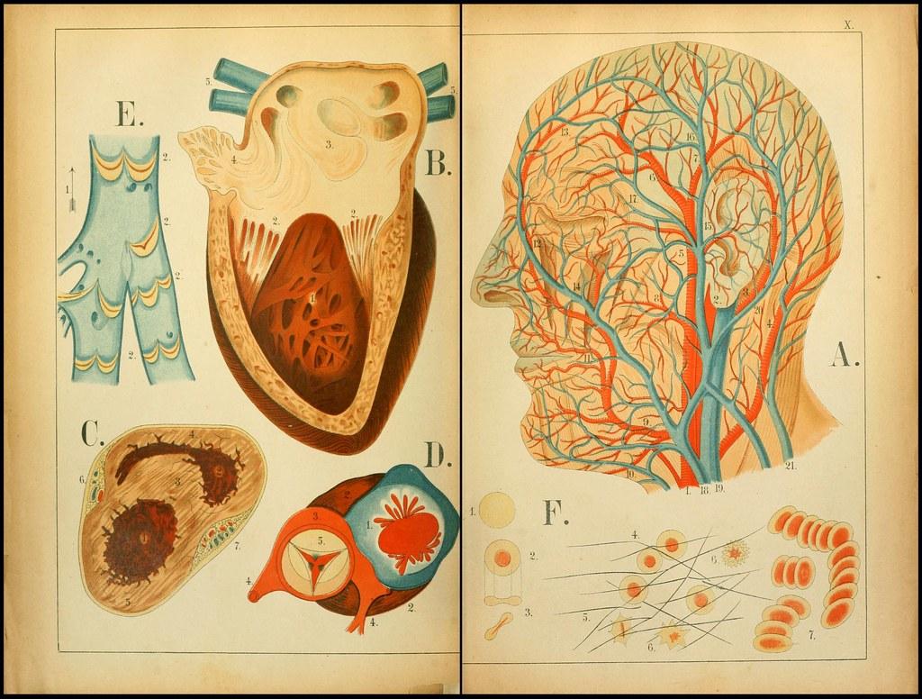 An atlas of Anatomy (FF Miller, 1879) f   bibliodyssey.blogs…   Flickr