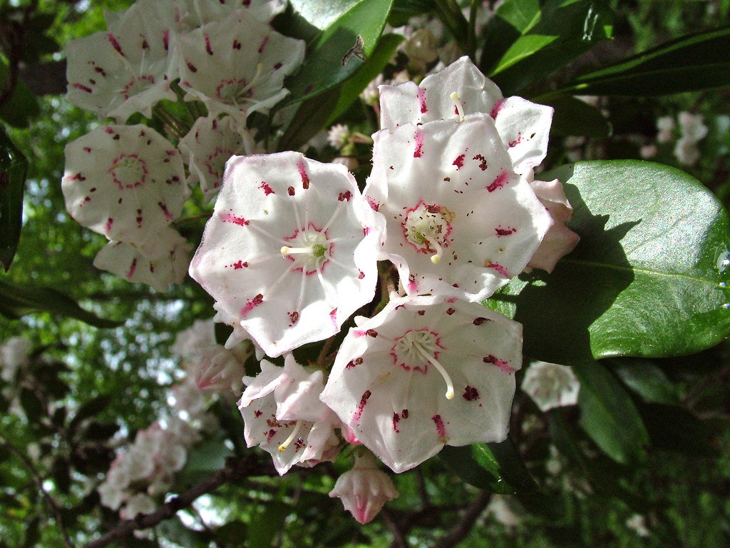 154 Laurel Hiking today I found the Mountain Laurel on th…