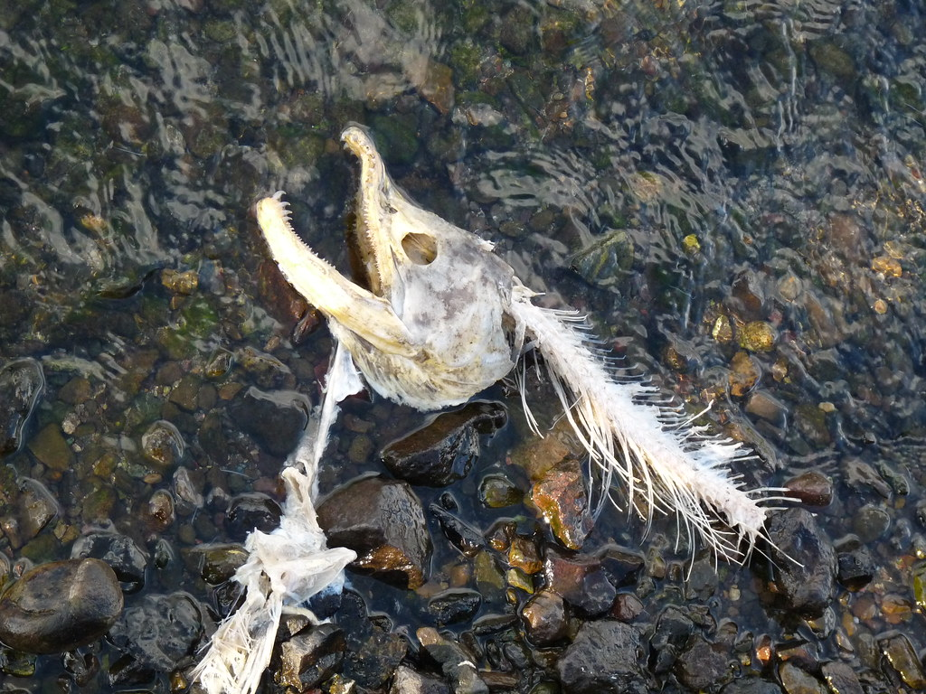 Salmon Skull And Bone Remnant Of The Fish Who Spawn And