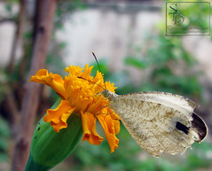 003. White local Butterfly - Psyche