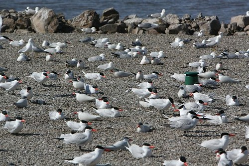 Caspian tern colony close-up | by Oregon State University