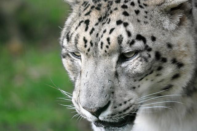 Snow leopard face side - photo#53