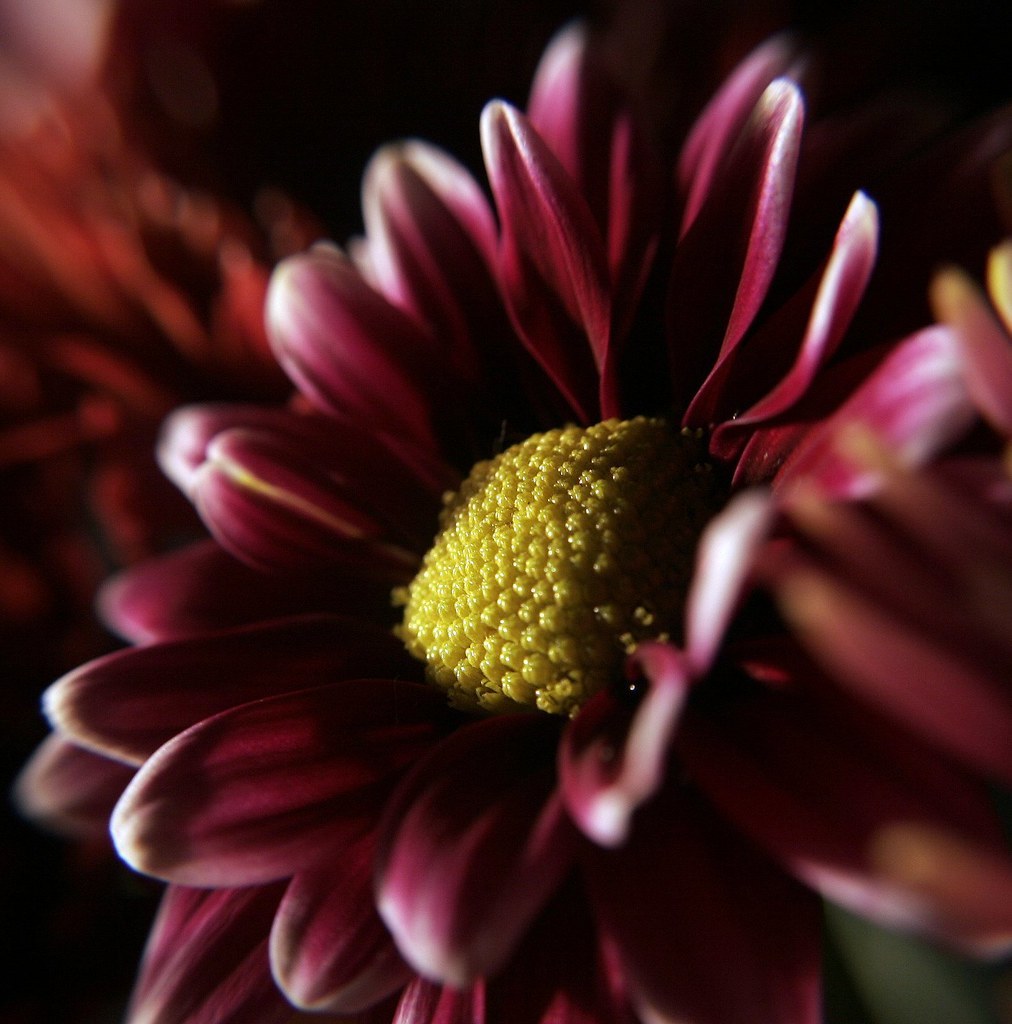 flower - SIDE - maroon and white tips/yellow center | Flickr