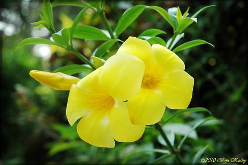 Kerala Flower Allamanda Cathartica Yellow Bell