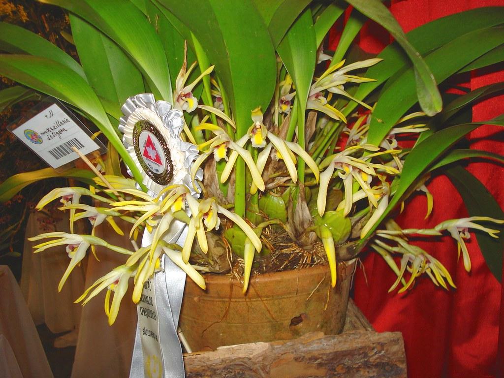 Resultado de imagem para maxillaria setigera