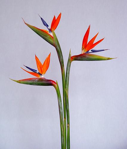 Flores De Strelitzia De Esta Planta Se Comercializan Sus