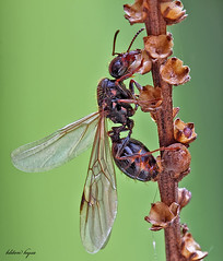 flying-ant | by kliton77