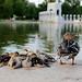 Reflecting Pool Ducklings