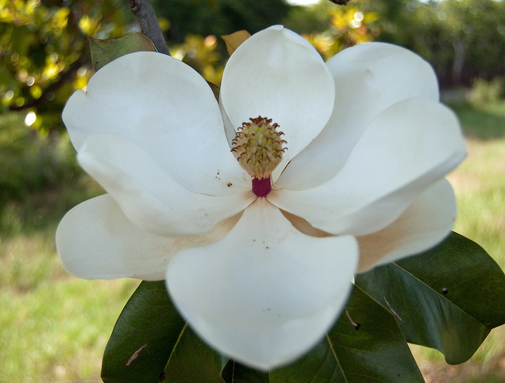 Mississippi State Flower Magnolia the state flower of Miss…