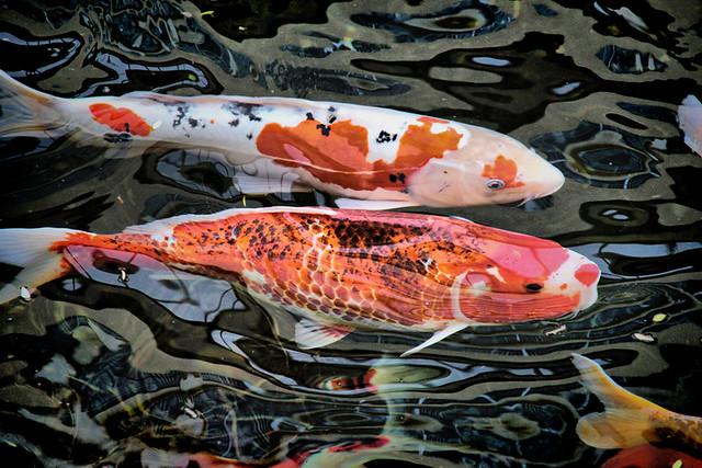 Koi pond koi fish in the koi pond at the disneyland for Ponds 4 fish