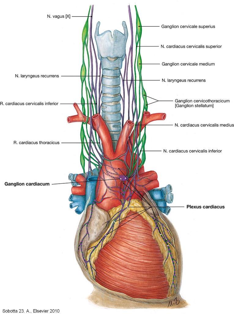 Innervation des Herzens | Sobotta Atlas der Anatomie des Menschen ...