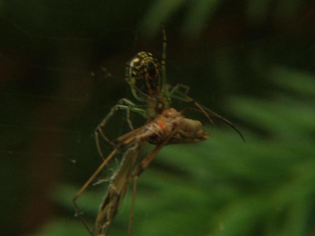 Yellow Garden Spider Bite