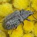 Escaravelho // Mycterid Beetle (Mycterus umbellatarum)