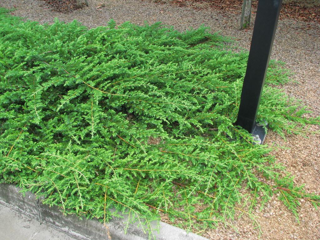 Picture of Live Shore Juniper aka Juniperus conferta Plant Fit 1 Gallon Pot