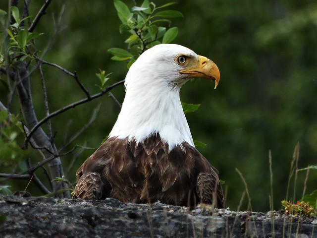 Águila de cabeza blanca fotografiada en Alaska