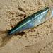 prateado-azulado-peixe