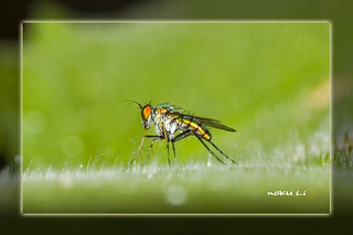 Golden Green Long Legged Fly | by nGkU Li @ Hiatus