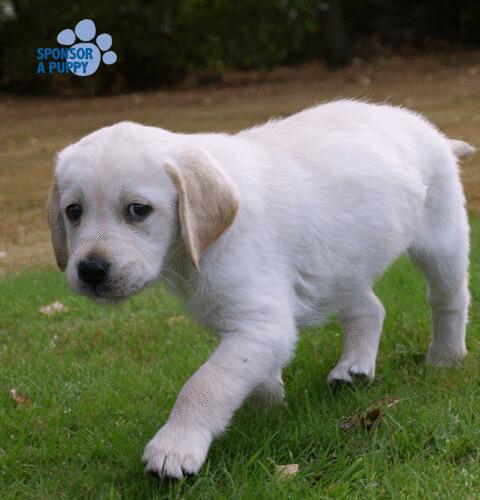 Sponsor Puppy Guide Dog