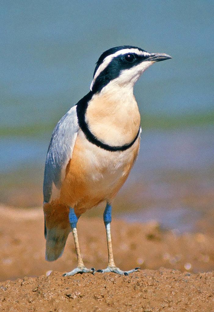 Egyptian Plover, Pluvianus aegyptius   Taken near the ...