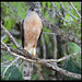 Cooper's Hawk, Gavilan de Cooper   IMG_8161edttpz