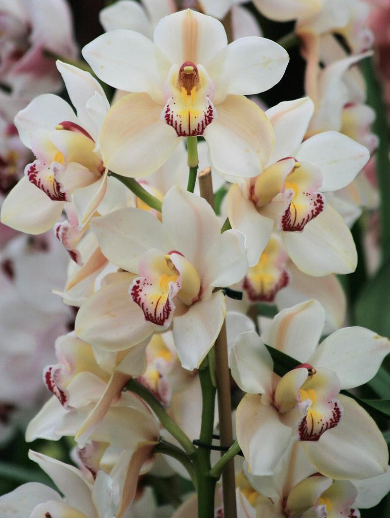 Orchid Cymbidium White