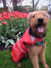 Airedale in a Raincoat | by Lulu Höller