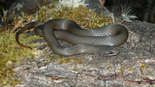 White Lipped Snake Mt Weld Mt Weld Tasmania Tindo2