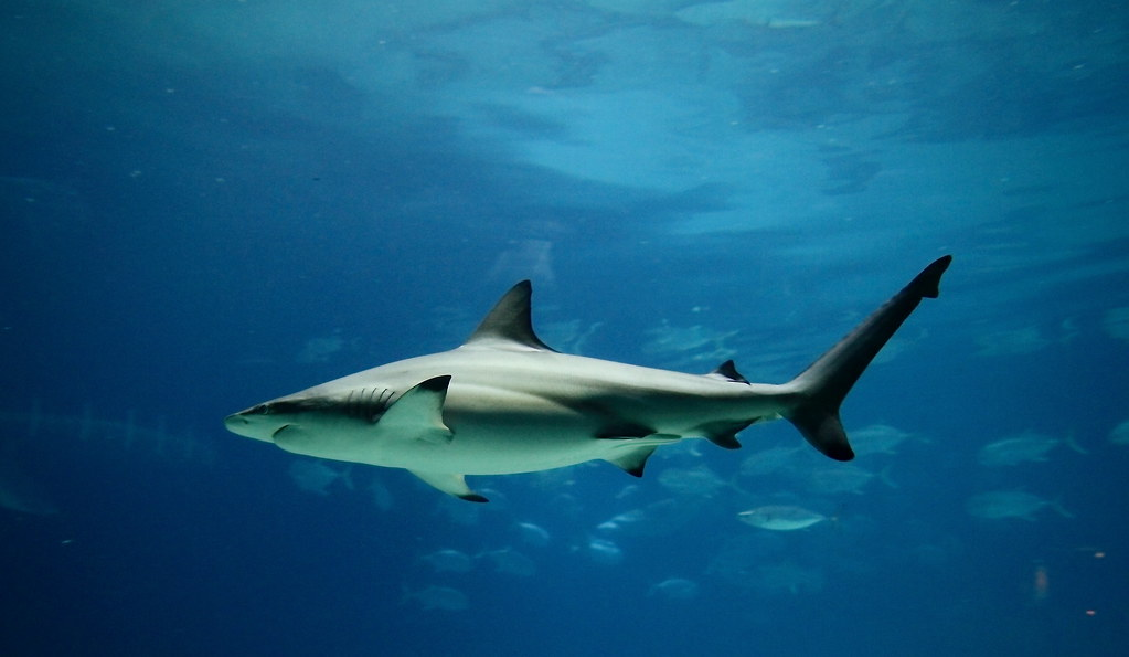 shark work
