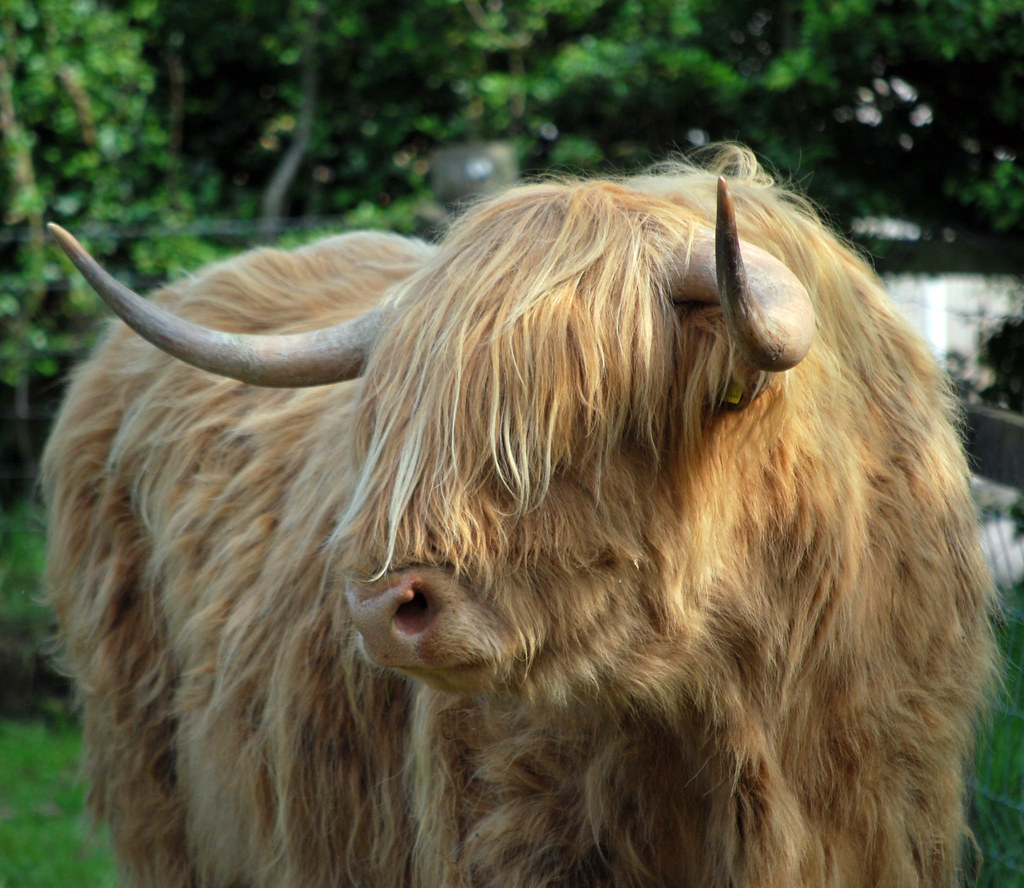 highland cow gretna green dumfries and galloway scotlan u2026 flickr