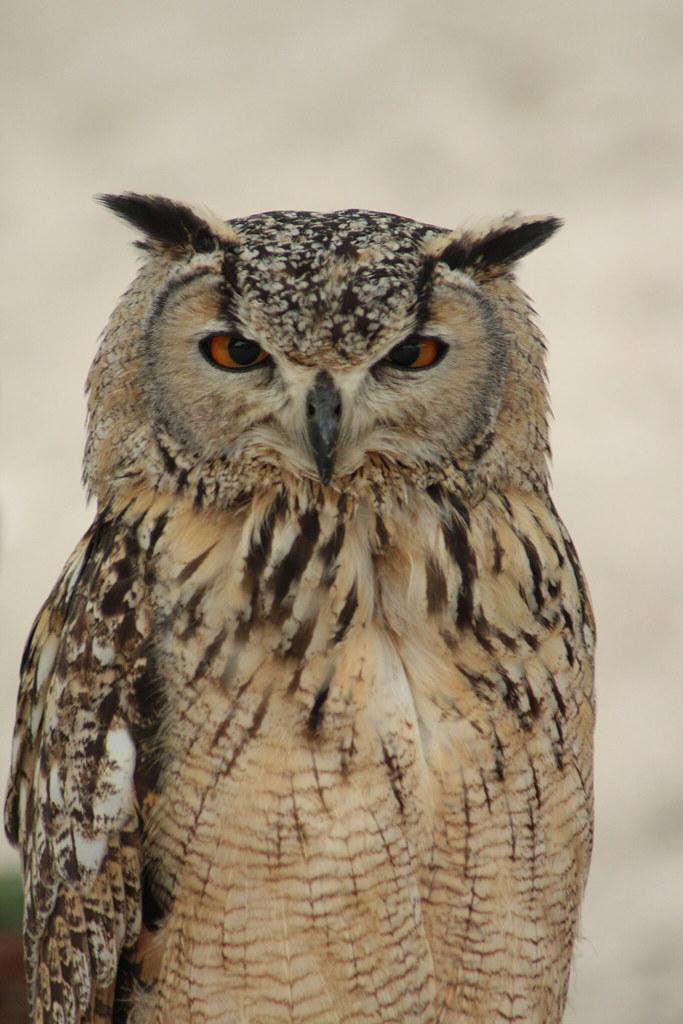 Wise looking owl | Daisyree Bakker | Flickr