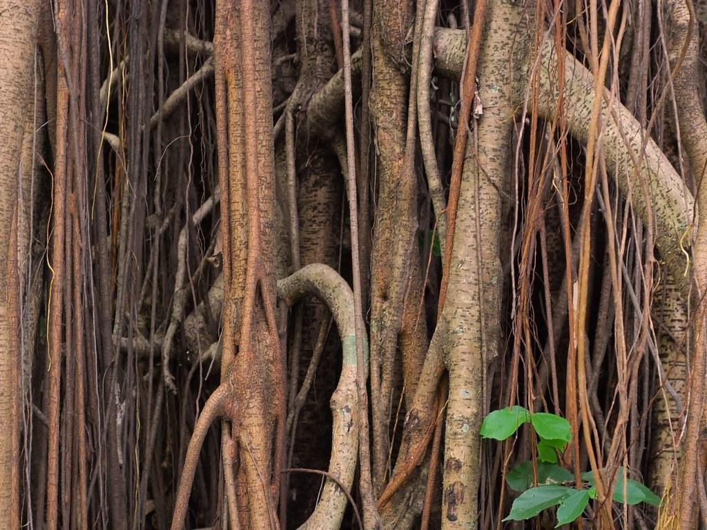 batang beringin | batang pohon beringin. lokasi : ragunan ...