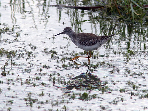 Lesser Yellowlegs 2-20091227 | by Kenneth Cole Schneider